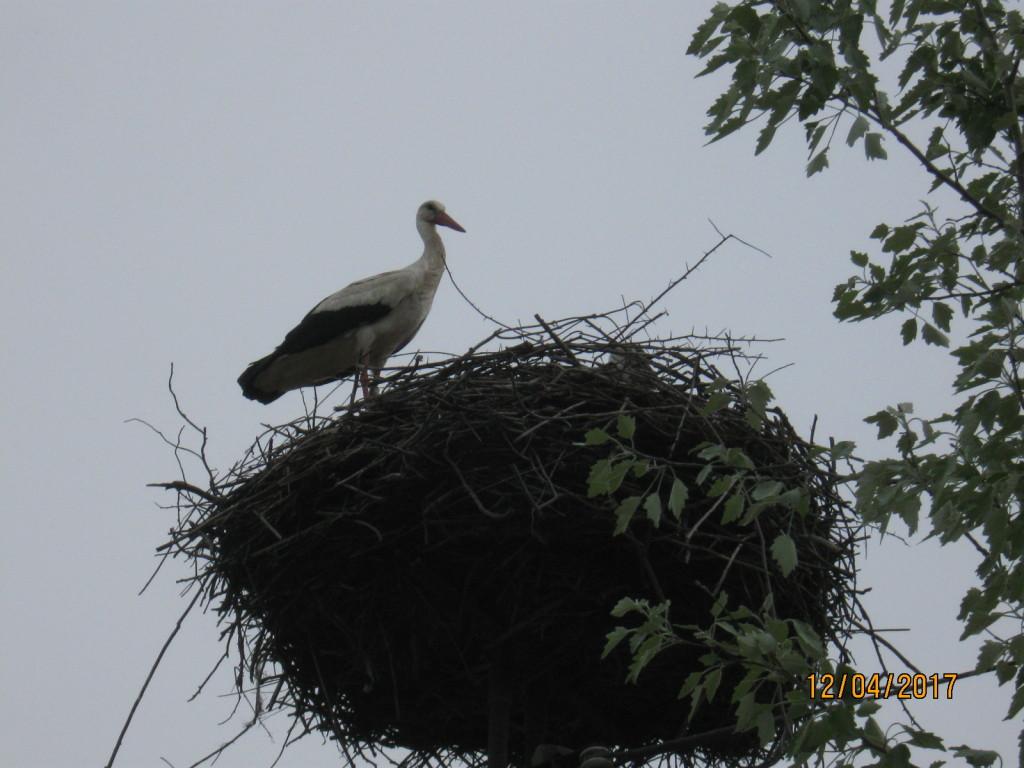 Fehér gólya fotó
